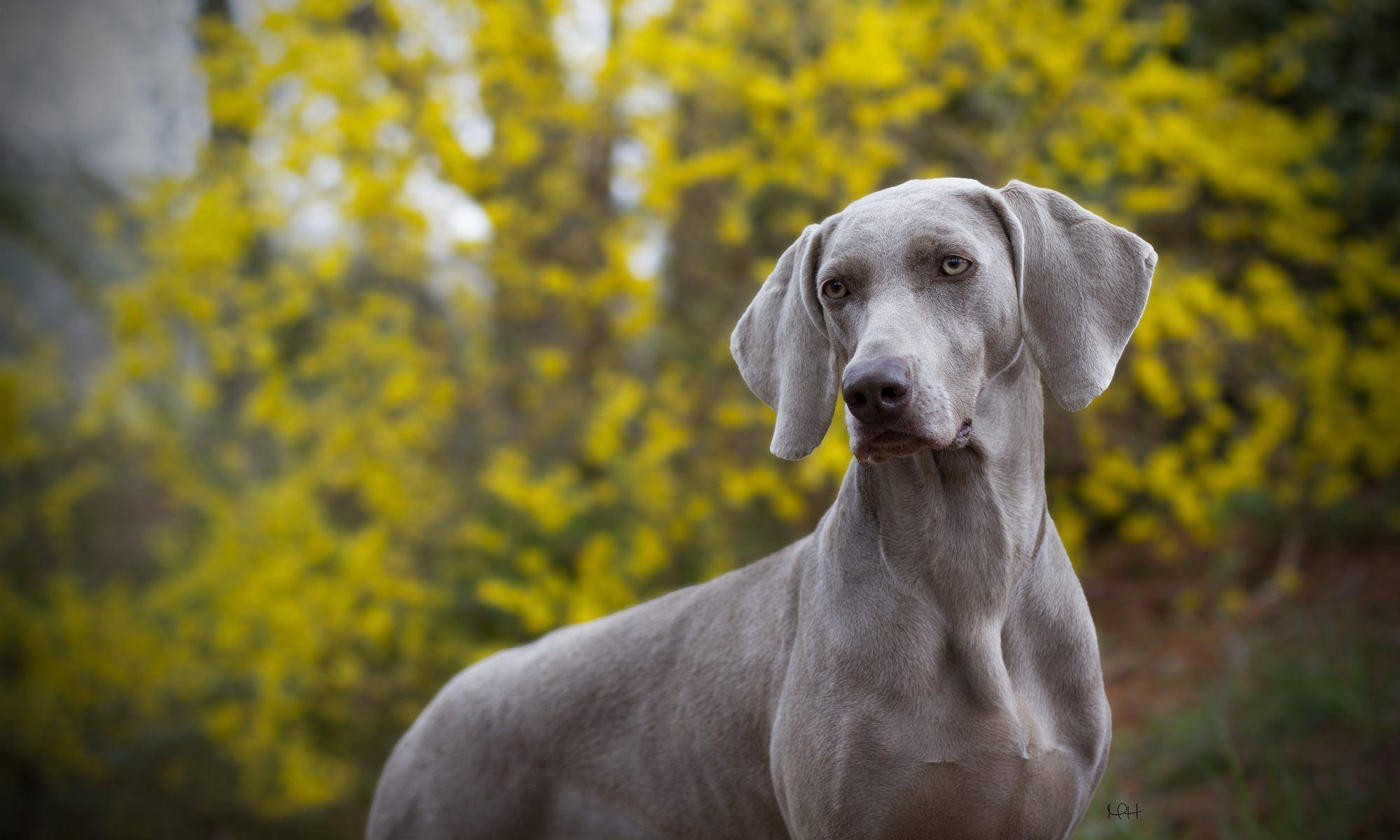 Harbor West Weimaraners